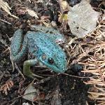 Sauble Falls B&B - The blue frog