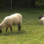 sheep grazing next to B&B