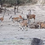 Eland antilopes at the waterhole
