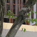 bicho de estimaçao -  macaco