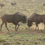 Wildabeest on Safari at Amarkhala