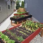 Elevated garden growing fresh veggies used for breakfasts