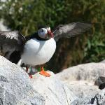 puffin ready to fly