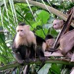 Capuchin mom with baby outside restaurant