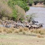 Migration at the Mara River