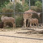 Two Greater Kudus together