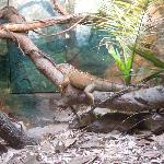 iguanas in the reptile house