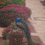 Peacock near our room