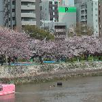Blossoms along one of the seven rivers in Hiroshima
