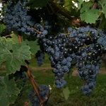 Grapes in the vineyard portion of the tour.