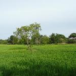 見渡す限りの広大なPaddy field (58エーカー)
