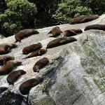 Sea lions napping on a rock