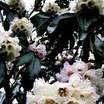 Early rhodos in bloom
