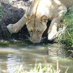 Lioness drinking at watering hole