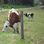 Les vaches Auvergnates