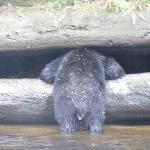 Black bear fishing at local river