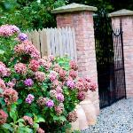 Amazing Hydrangea by the back gate