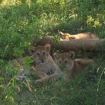 lion cubs aww