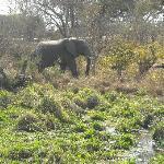 Elephant seen walking from Ilala to Vic Falls