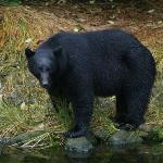 Black bear having salmon for breakfast