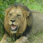 Lion - Kruger National Park
