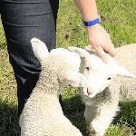 Petting the lambs