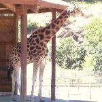 Neck and neck with giraffes!