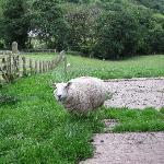 A sheepish welcome