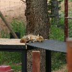 Sleeping fox (bad hair day)