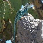 Lizzard, Arizona Sonora Desert Museum