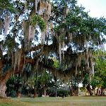 Hanging moss on Live Oaks at Ashantilly
