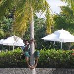 Junior climbing the coconut tree for us