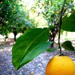 In the Orchards on the Property- free oranges!