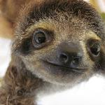 Athena, a baby 3-fingered sloth
