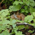 A New Spring Fawn