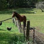Chooks and horsie