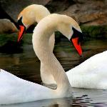 A Pair of courting Mute Swans in the Lagoons of the Scarborough Bluffs