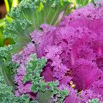 Nice flowers.  This is a photo of some colorful kale.