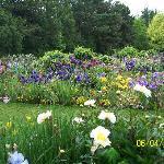 Irises, lupines and alium