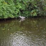 Heron on canal at bottom of garden