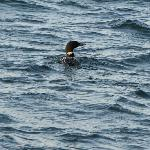 Loon in Boothbay Harbor