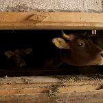 Their milk cows