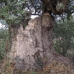 Very old olive tree - peace abounds here