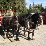 Western Pleasure Draft Horse Team