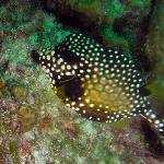 Many cool looking species like this Smooth Trunkfish