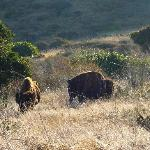 American Bison grazing on hillside