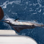 Miami Beach Sailfish