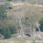Rare photo of 2 male moose in safe view along Cabot Trail