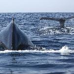 Out near the Islas Marietas during January, a mother Humpback whale and her six year old calf