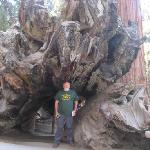 Trunk of a Sequoia tree